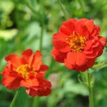 Load image into Gallery viewer, Geum  'Mrs Bradshaw' - 2L Pot