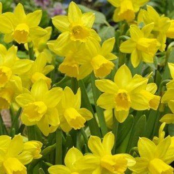 Narcissus Tete-a-Tete Bulbs Ready To plant - 9cm Pot - Bells Gardening