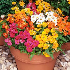 Nemesia Mixed Colours - 1L Pot