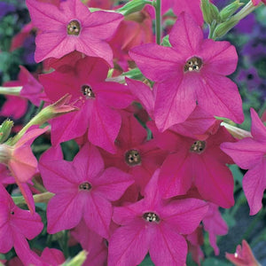 Nicotiana Rose- Garden Ready Bedding 6 Pack