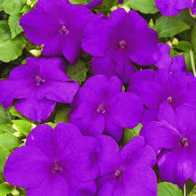 Load image into Gallery viewer, Impatiens Violet- Garden Ready Bedding 6 Pack