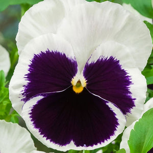 Pansy Bedding- 6 Pack - Variety of Colours Available