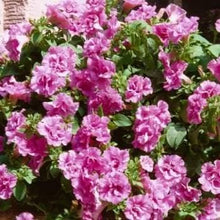 Load image into Gallery viewer, Petunia Viva Pink - 1L Pot