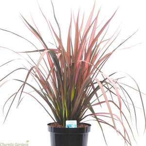 Phormium Evening Glow- 19cm Pot