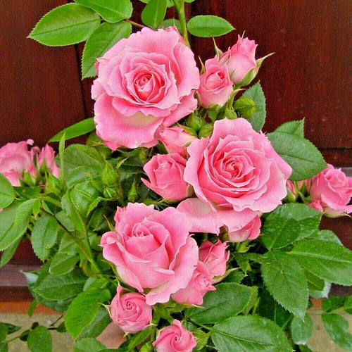Patio Rose 'Carefree Days'- 3L