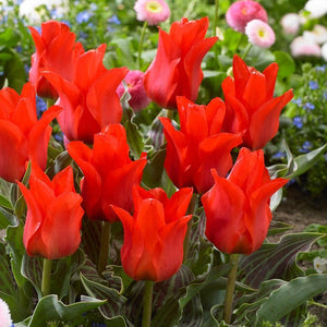 Tulip 'Red Riding Hood' Spring Bulbs Ready To Plant- 9cm Pot - Bells Gardening