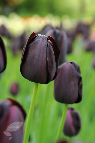Tulipa Single Late Queen of Night Spring Bulbs- 2L Pot