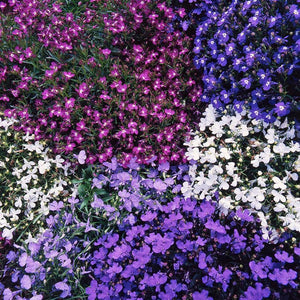 Lobelia Bush Mixed- Garden Ready Bedding 6 Pack - Bells Gardening