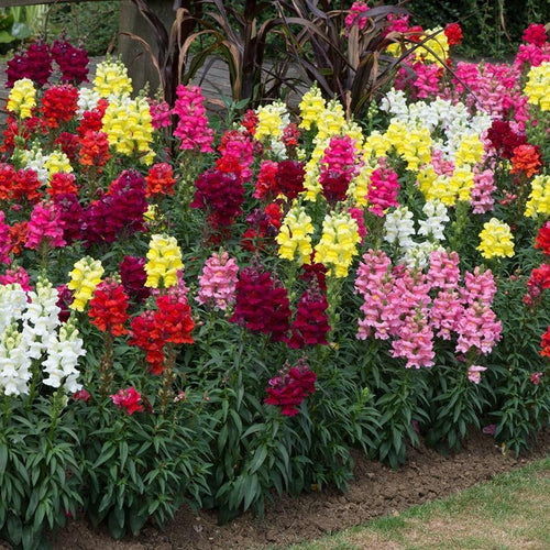 Antirrhinum Sonnet Mixed- Garden Ready Bedding 6 Pack