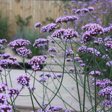 Load image into Gallery viewer, Verbena Bonariensis - Garden Ready 1.5 L Pot - Bells Gardening
