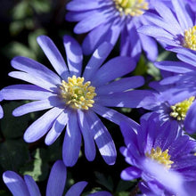 Load image into Gallery viewer, Anemone Blanda Blue - 2L Pot