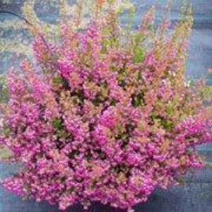 Erica gracilis (Cape heath)-10cm Pot Mixed Colour - Bells Gardening