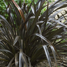 Load image into Gallery viewer, Phormium Platts Black- 19cm