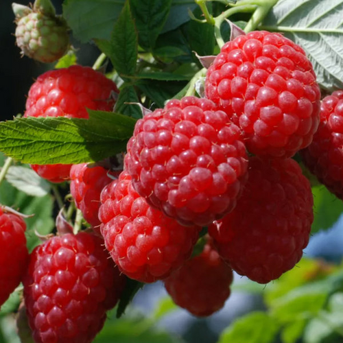 Premium Potted Raspberry 'Autumn Bliss' Fruit Bush