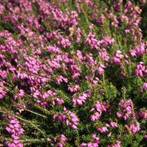 Load image into Gallery viewer, Erica carnea 'Rubinteppich' - 10cm garden ready plants