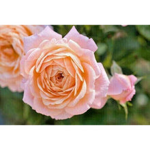 Load image into Gallery viewer, Patio Rose 'Peachy' Light Fragrance- 3L