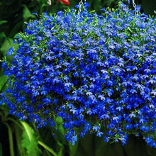Load image into Gallery viewer, Lobelia Trailing Sapphire- Garden Ready Bedding 6 Pack