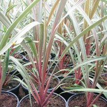 Load image into Gallery viewer, Cordyline Sundance- Evergreen Tree 17cm