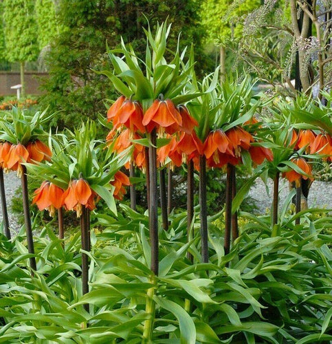 Fritillaria 'Crown Imperialis Rubra' Red Orange Fritillary Bulbs- Pack of 3