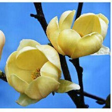 Load image into Gallery viewer, Magnolia Honey Tulip Patio- 10L Pot