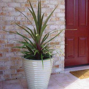 Cordyline Sundance- Evergreen Tree 17cm - Bells Gardening