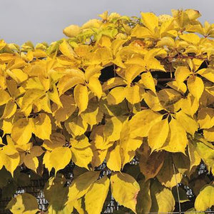 Parthenocissus Quiquefolia 'Yellow Wall' Virginia Creeper - 2-3L Pot