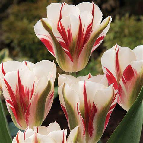 Tulipa Viridiflora Flaming Springgreen Spring Bulbs- 2L Pot