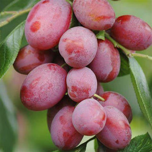 Potted 7.5L Plum 'Victoria' Fruit Tree