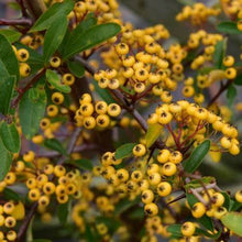 Load image into Gallery viewer, Pyracantha Saphyr Yellow- 3L Pot
