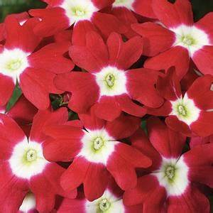 Verbena Red With Eye- Garden Ready Bedding 6 Pack