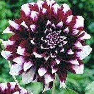Decorative Dahlia Duet Bulb - Bells Gardening
