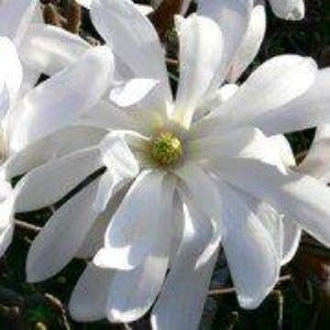 Magnolia stellata 'Waterlily' (Star magnolia 'Waterlily')-2L