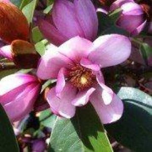 Magnolia 'Fairy Blush'- 3L Pot - Bells Gardening