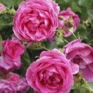 Rose 'Pink Cloud' - Potted Climbing Rose Bush - supersized 5 litre pot