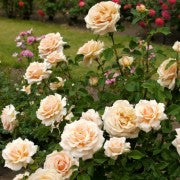 Load image into Gallery viewer, Rose 'Diamond Jubilee' - Potted Hybrid Tea Rose Bush - supersized 5 litre pot