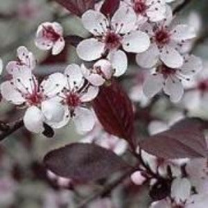 Prunus x cistena (Purple-leaf sand cherry)- 3L Pot - Bells Gardening