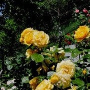 Rose 'Absolutely Fabulous' Potted Floribunda Rose Bush - supersized 5 litre pot