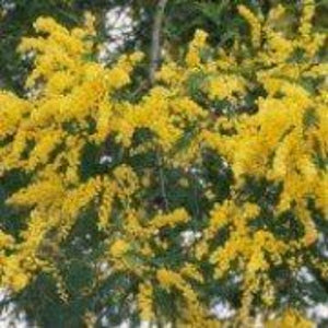 Acacia dealbata - 3L Pot - Bells Gardening