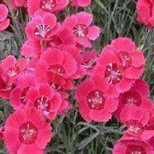 Dianthus 'Red Dwarf' (Alpine pink 'Red Dwarf')- 9cm Pot