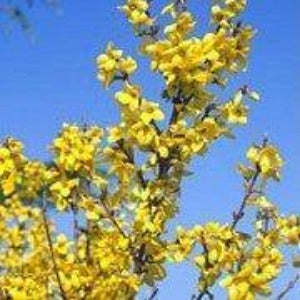 Forsythia x intermedia 'Week End'- 3L Pot - Bells Gardening