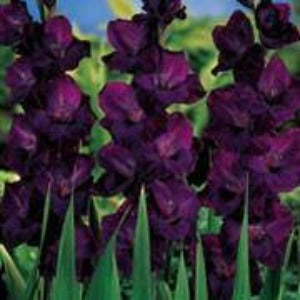 Gladiolus ' Blue Isle' Summer Loose Bulbs- x10 - Bells Gardening