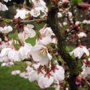 Prunus incisa 'Kojo-no-mai' - 3L Pot - Bells Gardening