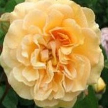 Load image into Gallery viewer, Rose 'Absolutely Fabulous' Potted Floribunda Rose Bush - supersized 5 litre pot