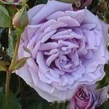 Load image into Gallery viewer, Rose 'Blue Moon'- Potted Hybrid Tea Rose Bush - supersized 5 litre pot