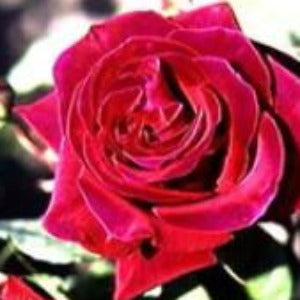 Rose 'Deep Secret' - Potted Hybrid Tea Rose Bush - supersized 5 litre pot