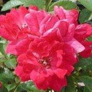 Rose 'Fairy Queen'- Potted Shrub Rose Bush - supersized 5 litre pot