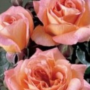 Rose 'Fragrant Delight' - Potted Floribunda Rose Bush - supersized 5 litre pot