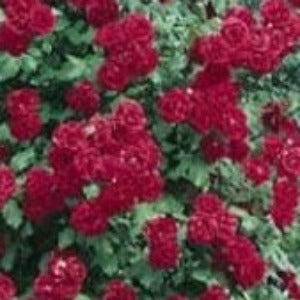 Rose 'Paul Scarlet Climber' - Potted Climbing Rose Bush - supersized 5 litre pot