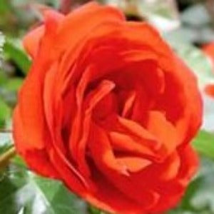 Rose 'Remembrance'- Potted Floribunda Rose Bush - supersized 5 litre pot