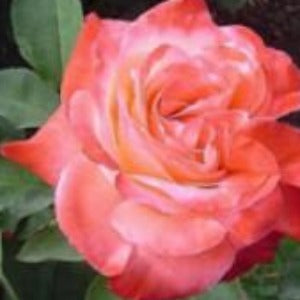 Rose 'Silver Jubilee'- Potted Hybrid Tea Rose Bush - supersized 5 litre pot